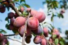 Eco plums Royalty Free Stock Photos