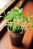 Eco pot with young sage Stock Photo