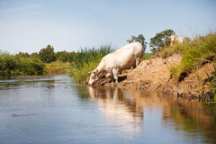 Eco que cultiva, vaca branca que bebe do rio Imagens de Stock