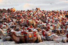 Eco Tourism - Camels Ride - Desert Transport - Dunhuang Stock Image