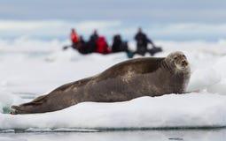 Eco-touristes observant un sceau barbu Photographie stock libre de droits