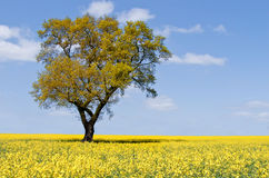 Eco tree landscape. Lone Eco tree in a field of yellow flowers landscape Royalty Free Stock Photo