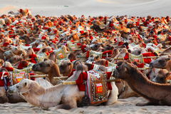 Eco turystyka Pustynny transport - Dunhuang - wielbłąd przejażdżka - Obrazy Stock