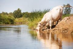 Eco uprawia ziemię, biała krowa pije od rzeki Obraz Stock
