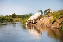 Eco uprawia ziemię, biała krowa pije od rzeki Obrazy Stock