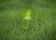 ECO-växt av släktet Trifolium Royaltyfri Bild
