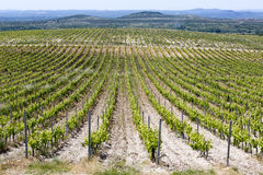 Eco vineyard. In Benkovac, Croatia in late spring where no herbicid chemicals are used against grass and other plants Royalty Free Stock Image