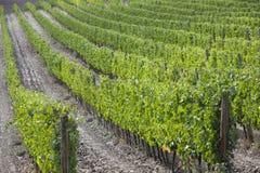 Eco vingårdar i Italien royaltyfri bild