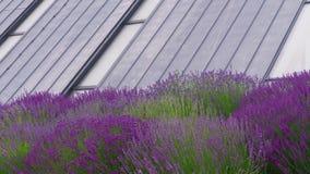 Ecodak, vensters van passief huis, lavendelbloemen op wind stock videobeelden