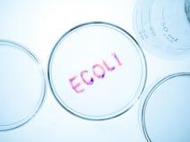 Ecoli bacteria. Biological culture laboratory glassware with growing ecoli bacteria, Escherichia coli bacteria stock photos