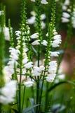 Ecologia lunga bianca del giardino della natura della flora dei fiori fotografia stock