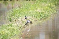 Ecologia naturale degli uccelli Fotografie Stock Libere da Diritti