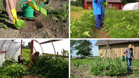 Ecologic gardening in rural farm. Clips collage. Girl plant eggplant. Gardener spay potato plants. Senior care tomato in greenhouse. Beans watering. Montage of stock footage