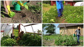 Ecologic gardening in rural farm. Footage collage. Girl plant eggplant. Gardener spay potato plants. Senior care tomato in greenhouse. Beans watering. Montage stock footage