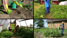 Ecologic gardening in rural farm. Video clips collage. Girl plant eggplant. Gardener spay potato plants. Senior care tomato in greenhouse. Beans watering stock video