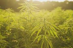 Hemp or cannabis industrial farm detail. Ecologic hemp or cannabis industrial plantation in the belgian countryside royalty free stock photo