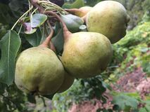 Ecologic pears Stock Images