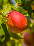 Ecologic ripe Nectarine fruit Royalty Free Stock Photography