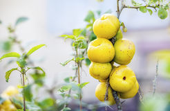 Ecological chaenomeles speciosa (Rosaceae) fruits Royalty Free Stock Photo