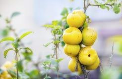 Ecological chaenomeles speciosa (Rosaceae) fruits Royalty Free Stock Photo