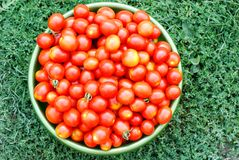 Ecological cherry tomatoes in a basin. Fresh ecological red cherry tomatoes in a round basin isolated on grass Royalty Free Stock Photo