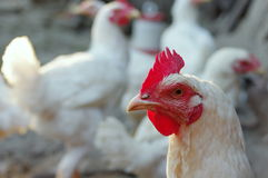 Farm. Ecological chicken Royalty Free Stock Photo