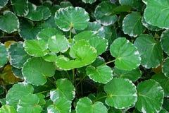 Background of Beautiful Fresh Polyscias Leaves in A Garden. Ecological Concept, Green and White Stripe Leaves of Polyscias Guilfoylei or Geranium Aralia Plants stock photos