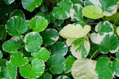 Background of Beautiful Fresh Polyscias Leaves in A Garden royalty free stock image