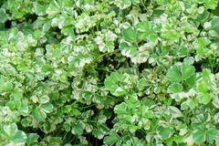 Background of Beautiful Fresh Polyscias Leaves in A Garden. Ecological Concept, Green and White Stripe Leaves of Polyscias Guilfoylei or Geranium Aralia Plants royalty free stock photos