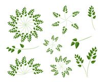 A Set of Evergreen Leaves on White Background Stock Photos