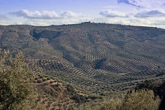 Ecological cultivation of olive trees in the province of Jaen Stock Photography