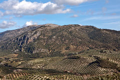 Ecological cultivation of olive trees in the province of Jaen Stock Photo