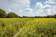 Ecological field of yellow rape in Poland Royalty Free Stock Images