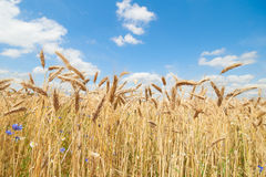 Ecological golden crops in bright light. Photo of ecological golden crops in bright light Royalty Free Stock Images