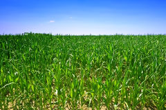 Ecological green corn field Royalty Free Stock Photo