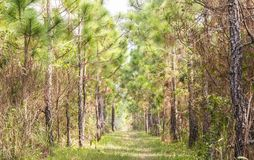 Ecological hike trail in pine forest. Stock Image