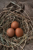Ecological natural fresh eggs in bird nest born Stock Images