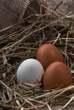 Ecological natural fresh eggs in bird nest born Stock Photography