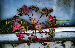 Ecological niche exploitation. Herb Robert exploiting an ecological niche by rooting on an old galvanised garage door Stock Image
