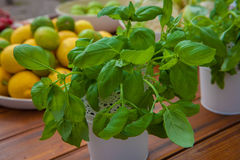 Ecological organic basil herbs Royalty Free Stock Image