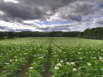 Ecological potato field Royalty Free Stock Image