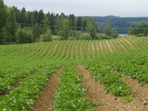 Ecological potato field. Potato field in the middle of sweden Royalty Free Stock Images