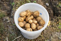 Ecological potatoes Royalty Free Stock Photography