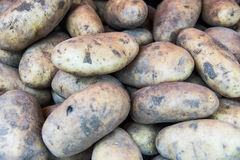 Ecological potatoes. Raw Ecological potatoes, look fresh and organic Stock Images