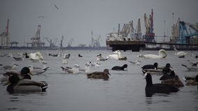 The ecological problem is white swans, ducks and seagulls in the seaport waters. Wild Birds, people, industry. The ecological problem is white swans, ducks and stock video