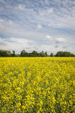 Ecological rape field in Poland Royalty Free Stock Image