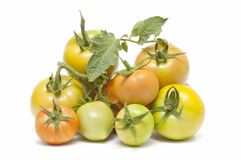 Ecological tomatoes Stock Photo