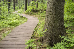 Ecological trail made of wooden planks to walk in forest, in the Stock Photography