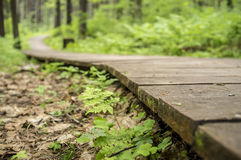 Ecological trail made of wooden planks for walking in the woods. Royalty Free Stock Photo