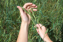 Ecological wheat green sprouts Royalty Free Stock Photography